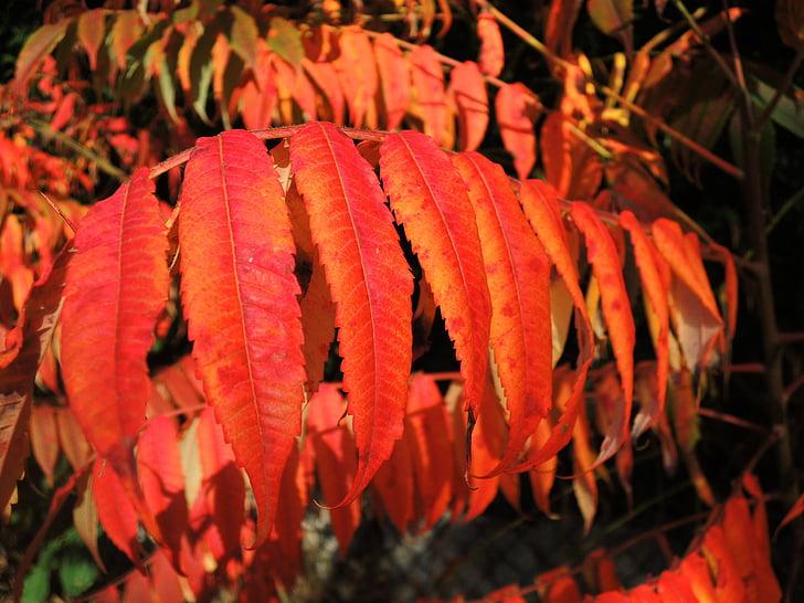 fulles, vermell, tardor, colors, fullatge de tardor, color, fulles de tardor