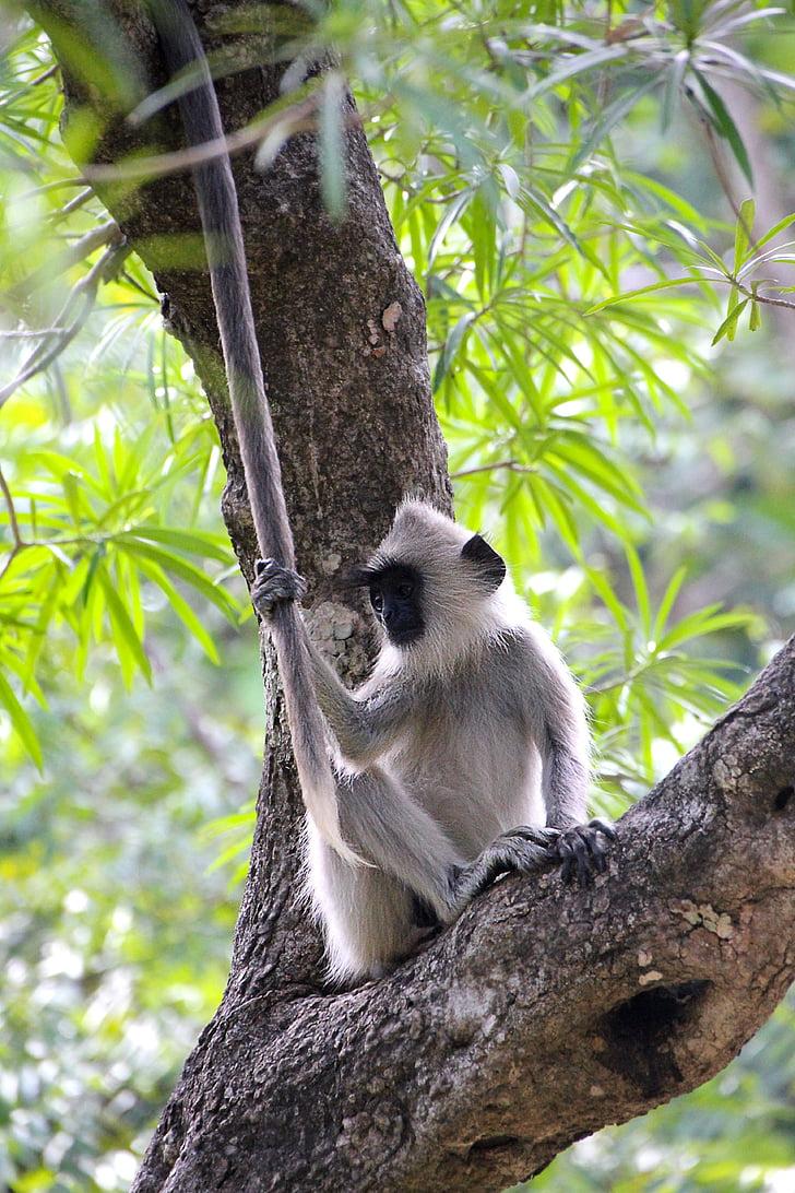 маймуна, дърво, Сладък, äffchen, животните, природата, животински свят