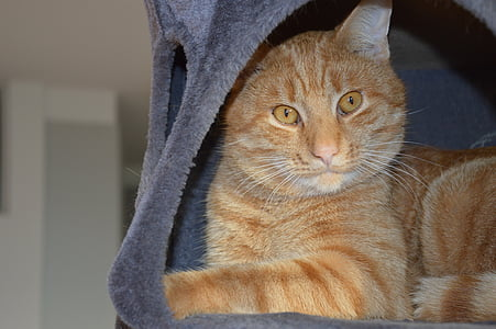 коте, червена котка, котка, Том-котка, домашни любимци
