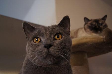 cat, grey, domestic cat, cat's eyes