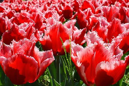 tulipes, Tulipa, flors, natura, pètals, flor, primavera