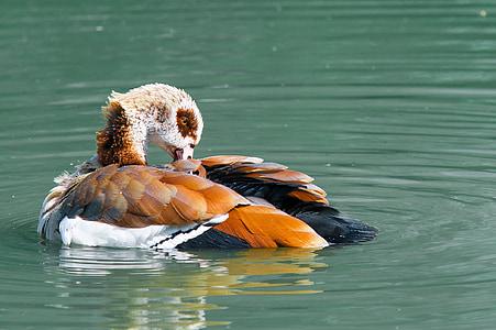 nilgans, goose, water bird, water, bird, animal, swim
