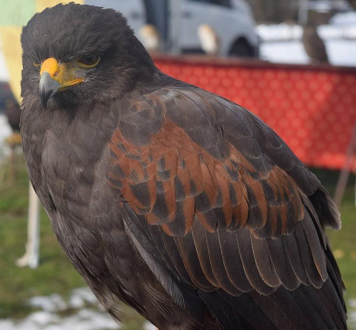 птица, природата, раптор, животните, пера, птици, Falco