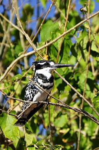 kingfisher, bird, nature, bill, white, black, branch