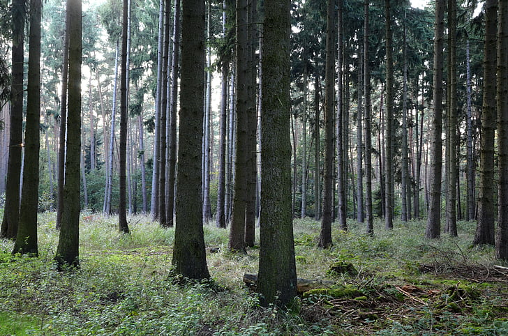 forest, coniferous forest, trees, conifers, autumn forest, pine forest, tree trunks