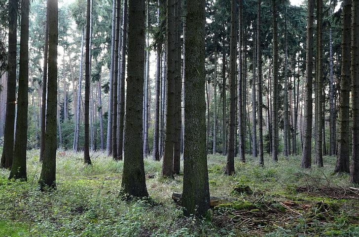 meža, skuju koku mežs, koki, skujkoki, rudens meža, priežu mežs, koku stumbriem