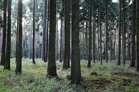 bosc, boscos de coníferes, arbres, coníferes, bosc tardor, bosc de pins, troncs d'arbre