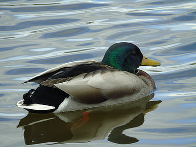 crossword, mallard duck, duck, bird, ducks, water, wild birds