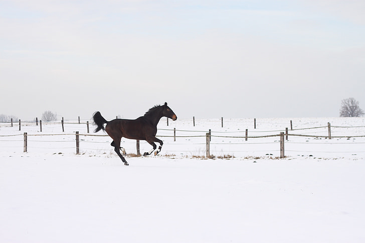 horse, gallop, race, brown, winter, wintry, contrast