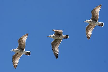kolme, Flying, lokkien, taivas, lokit, lokki, siivet