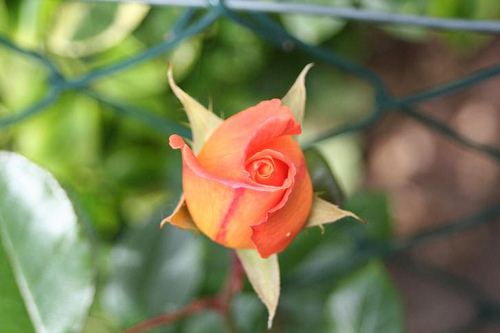 กุหลาบหอม, ดอกตูม, สวน