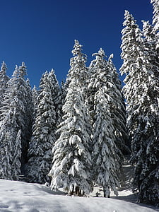 avets, natura, bosc, cobert de neu, l'hivern, neu, màgia d'hivern