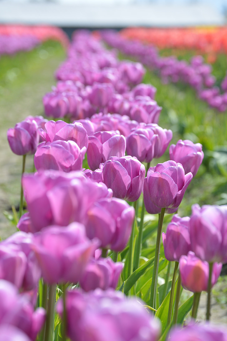 lilla, punane, tulbid, Loode, Washington, lill, Skagit