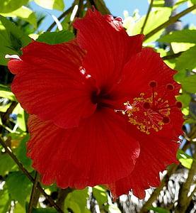 növény, hibiszkusz, mályva, virágok, makró