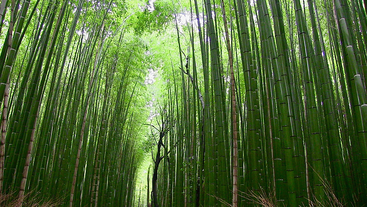 bamboo, forest, plants, japan, nature, bamboo - Plant, tree