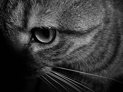 cat, animal, cat eyes, cat face, cat head, black and white, domestic Cat