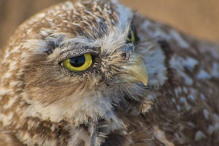 tunkeutuminen pöllö, Pöllö, maahan pöllö, ruskea pöllö, lintu, saalistushinnoittelua lintu, pieni pöllö