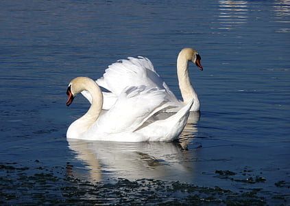 swan, water bird, water, pride, nature, lake, animal world