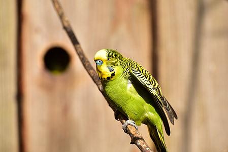 Budgie, Грийн, птица, природата, перо, светъл, малки птици