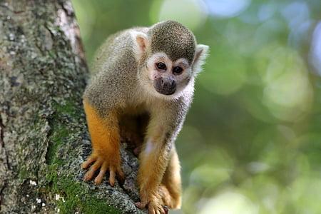 mico perfumades, primats, animal, hàbitat natural