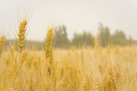 밀, 밀밭에서, 수확, 시리얼 공장, 농업, 자르기, 필드