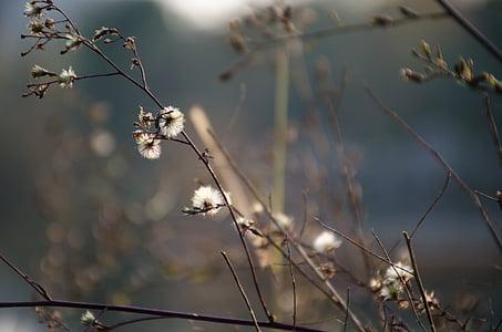 Plum blossom, Anläggningen, vit blomma