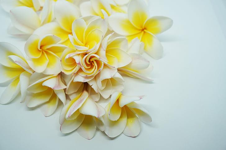 flere oplysninger, dok champa laos, Frangipani blomster, blomster, hvide blomster, duftende blomster, Champa
