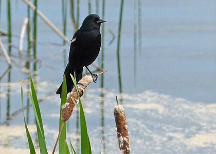 svart, fuglen, våtmarksområde, myr, Williams lake, britisk columbia, Canada
