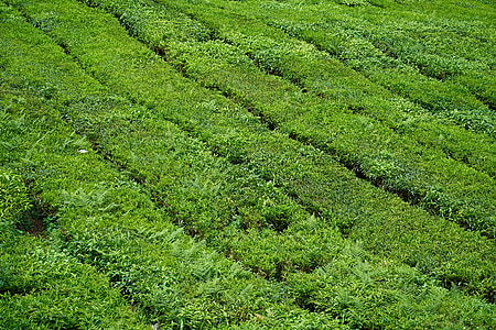 čaj, čaj plantaže, lijepa, tekstura, krajolik, vrt, priroda