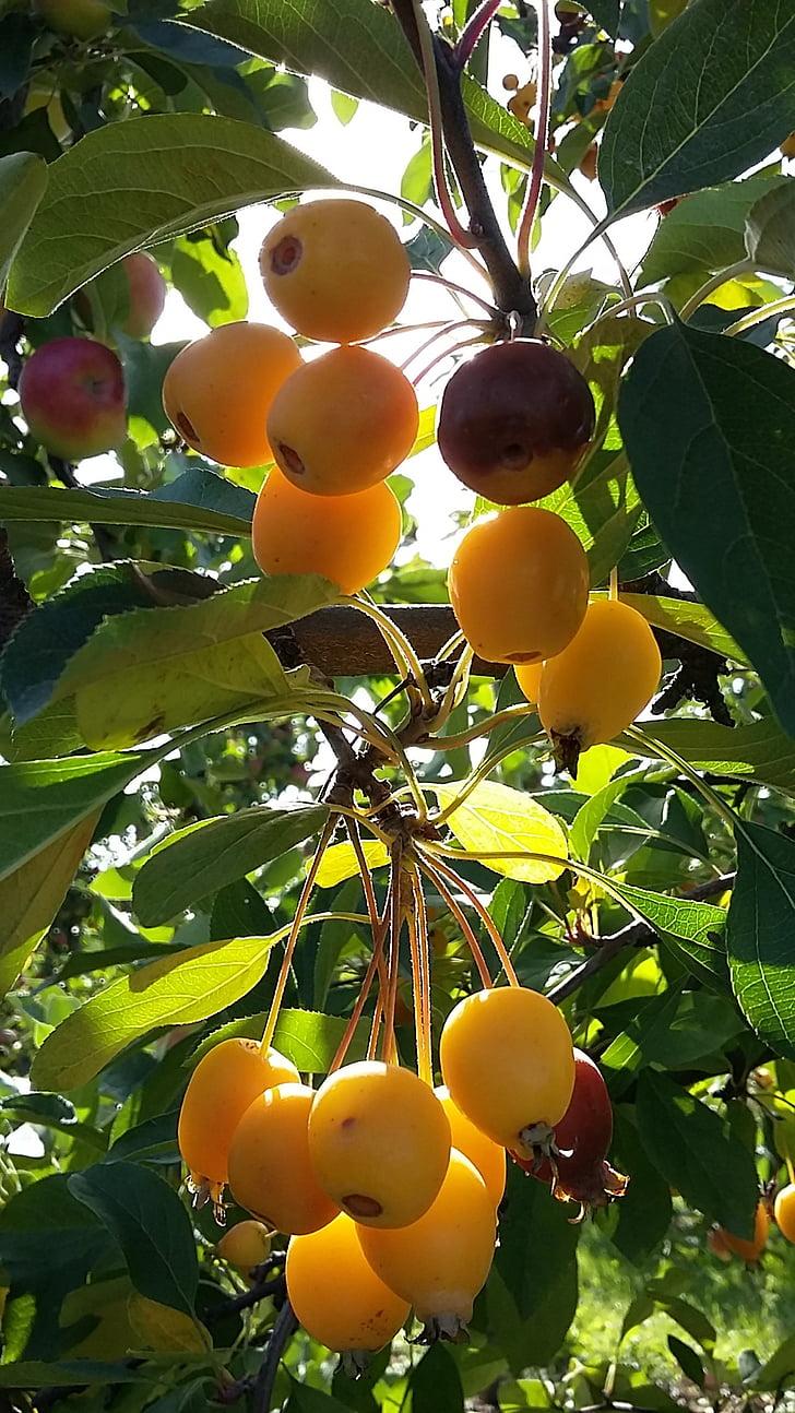 embelliment, torna la llum, natura, fruites, arbust, fruita