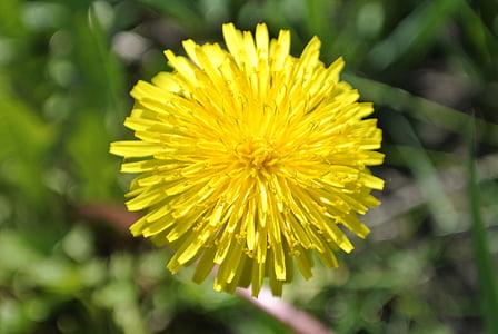 Makro, lilled, lill, suve lilled, kollane, Lähis Joonis, loodus