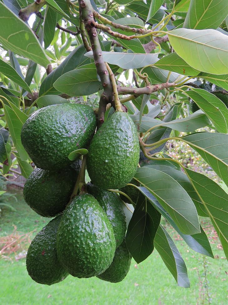 alvocat, fruit d'alvocat, fruita, arbre, verd, creixent, Orgànica