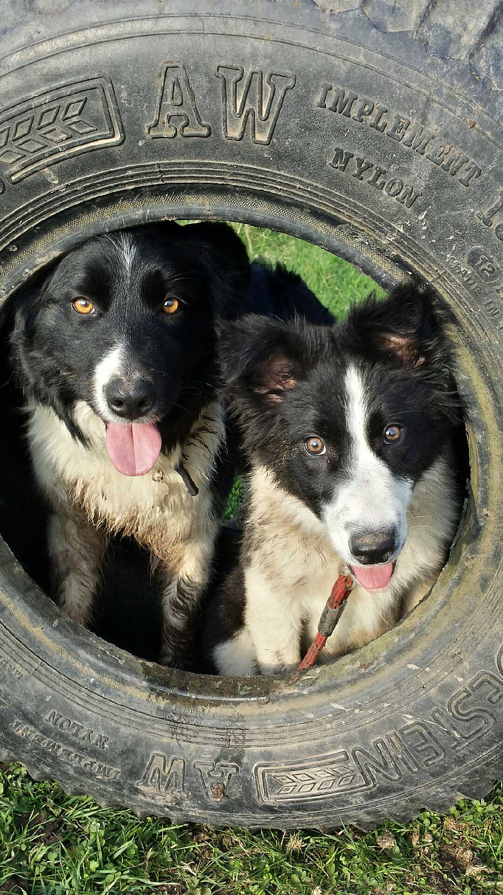farm, tyre, country, dogs, border collie, animal