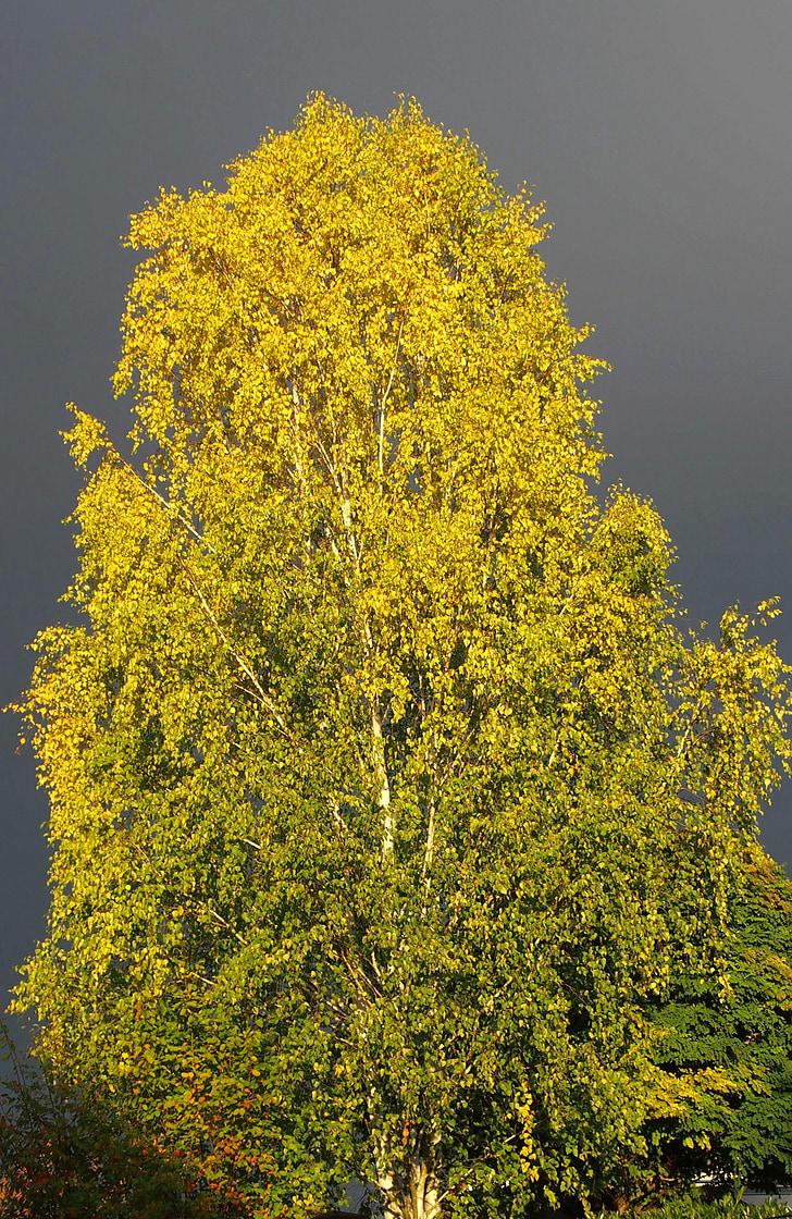 bedoll, arbre, Parcialment ennuvolat, natura, estat d'ànim, mística, il·luminació