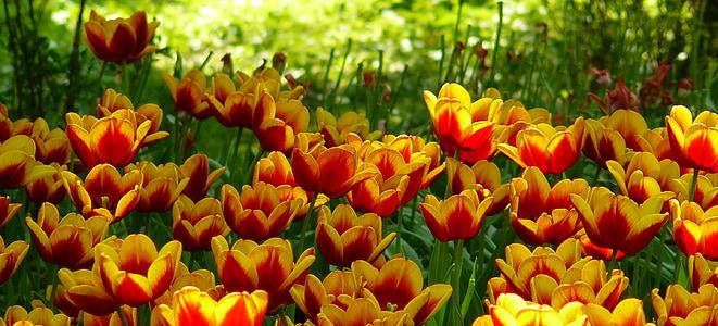 tulbid, tulbi väljad, kevadel, lill, Tulip, kollane, lilled