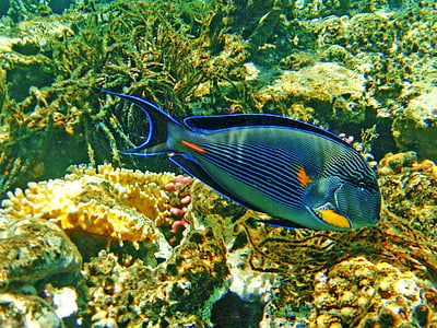 fish, cay, the red sea, egypt, hurgada, summer, under-water