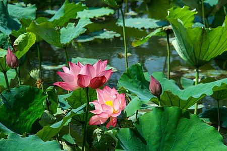 Lotus lístia, Lotus, letné, vodné rastliny, rybník, kvet, Leaf