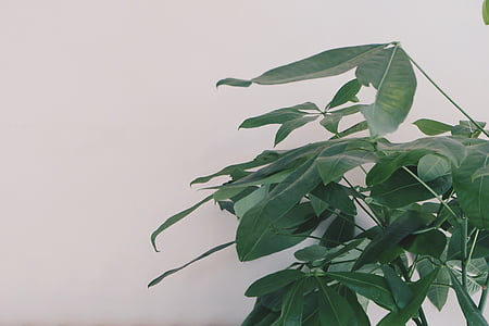 rastlín, Zelená, listy, dekor