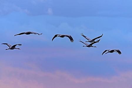 Кранове, птици, roosting полет, синя час, прелетни птици, залез
