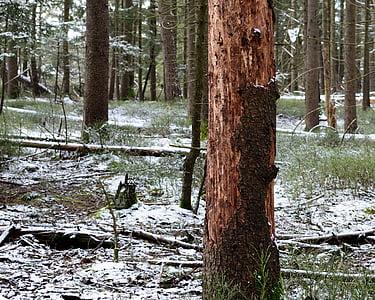danys forestals, escorça d'arbre, danyat, medi ambient, natura, insecte, Eco