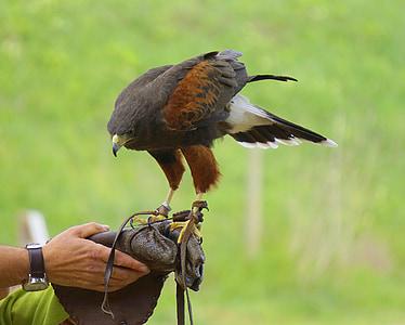 falconry, eagle, birds of prey, ave, bird of prey, feathers, animals