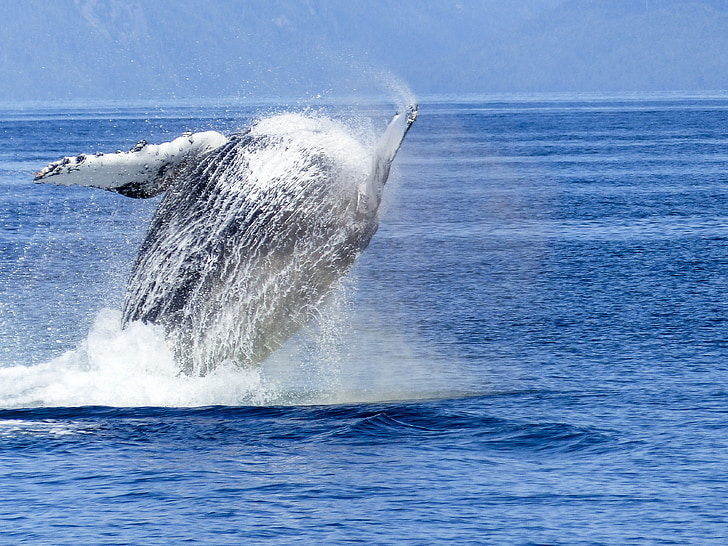 balena geperuda, espectacle natural, natura, mamífer, animal, vida silvestre, saltant