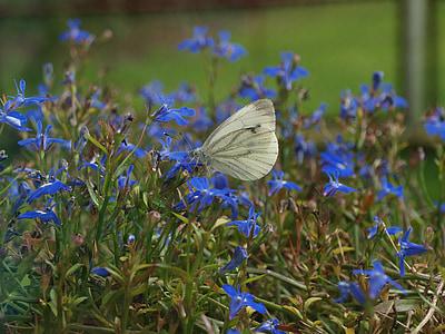 butterfly in bloemen, vlinder, Witte vlinder, insecten, zomer, insect, natuur