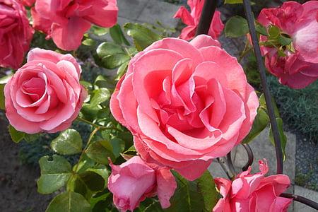 上升, 开花, 绽放, 花, 粉色, 植物, 玫瑰绽放