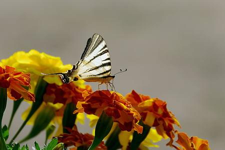 цветя, Невен, пеперуда, цветове, силует, молец, насекоми