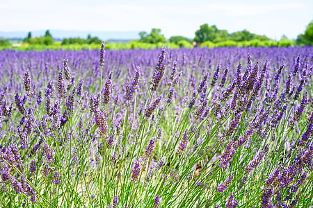 levandų gėlės, mėlyna, gėlės, violetinė, dunkellia, violetinė, Levanda