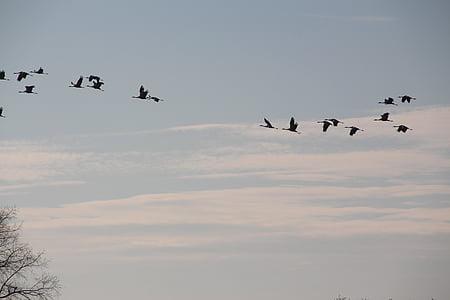 grues, aus migratòries, tardor, natura
