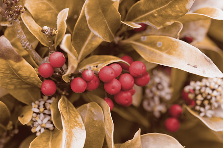 berry, berries, red, gold, golden, leaves, leaf