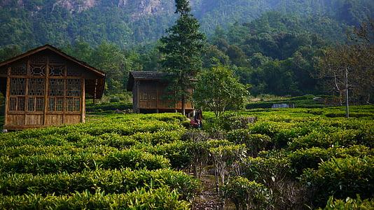 te jardí, vessant, casa de te, natura, l'agricultura, Àsia, granja