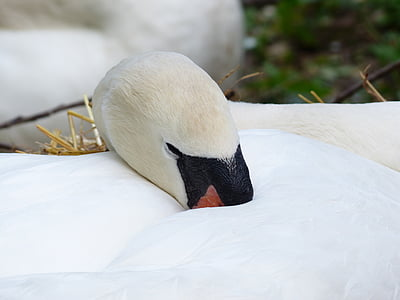 swan, sleep, rest, breed, nest, swan's nest, animal